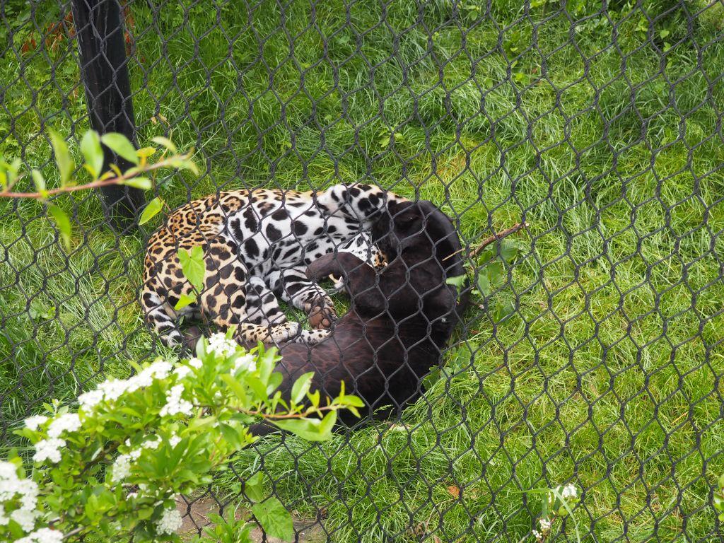 panter jaguar