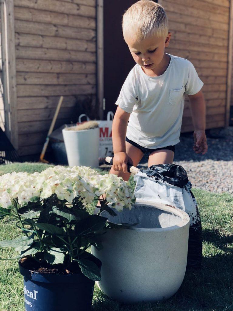 Plantera hortensia
