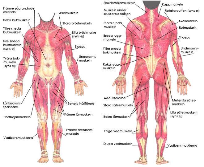 alla muskler i kroppen